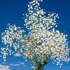 GlobalRose 60 Stems of Fresh Cut Gypso Perfecta Fillers - Baby's Breath Fillers - Fresh Flowers Wholesale Express Delivery by GlobalRose