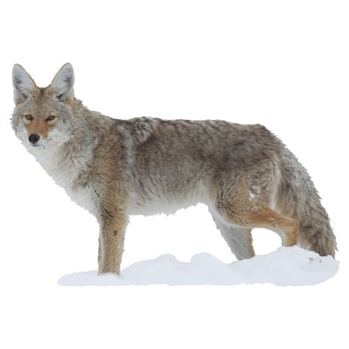 Mossy Oak Graphics ( 23028-C) 'Coyote Side View' Cut-Out Indoor ()