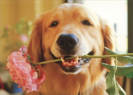 (Golden with Pink Flower in Mouth Golden Labrador Retriever Mother's Day Card by Avanti Press)