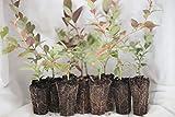 "Bon Bon's Blueberries 10 Blueberry bush plants 3"" to 6"" / plus 1 cranberry plant and 500ct blueberry seeds"