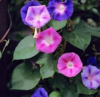 Morning Glory Mixed Seeds - Ipomoea Tricolor