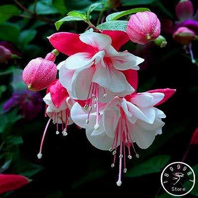 New Arrival!Heart-Shaped Peach Fuchsia Flower Seeds Potted Flower Garden Plants Hanging Fuchsia Flowers 50 pcs/Pack, qk3l8i2