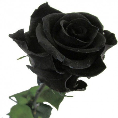 Mr.seeds China Rare Black Rose Flower seeds 200 pieces of, easy-to-grow family garden seeds La rosa negra Semillas.