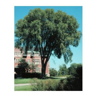 Ulmus americana: American Elm Seeds : Tree Plants : Garden & Outdoor