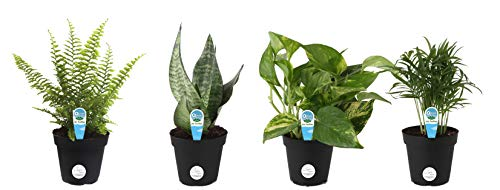 Costa Farms Clean Air – O2 For You Live House Plant Collection, 4-Pack, Includes Peace Lily, Snake Plant, Parlor Palm, Devil's Ivy, 4-Inch Grower Pot