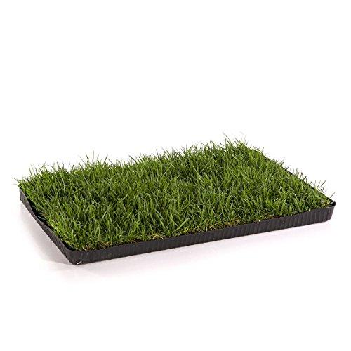 Miau Katzengras - echtes, saftiges Gras auf 60x40cm - sofort nutzbar, kein aussäen mehr!
