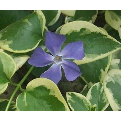 "(18 count flat-3.5"" pots), Vinca major 'Variegata' Variegated Large Leaf Periwinkle, (GROUND COVER) : Garden & Outdoor"