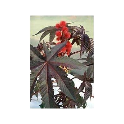 Hirts: Seed; Perennial Ricinus Carmencita Red Leaf Castor Bean, 10 Seeds : Tree Plants : Garden & Outdoor