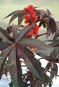 Hirts: Seed; Perennial Ricinus Carmencita Red Leaf Castor Bean, 10 Seeds