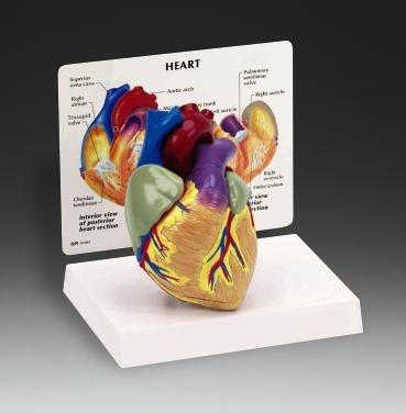 Cutaway Heart Model