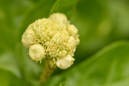 Arabian Jasmine Plant''Grand Duke of Tuscany'' - Fragrant Plant - 6'' Pot by Thai Greenhouse (Image #4)