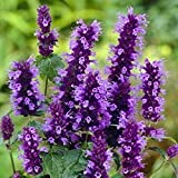 50+ Lavender Agastache Hyssop Flower Seeds /Delightfully Scented Perennial