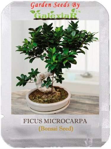 Shopmeeko Seed Microcarpa Bonsai Ficus Gingseng Seed (10 per -
