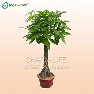 1 Bonsai/Pack Pachira Macrocarpa Bonsai 100% True Bonsai Tree Bonsai Whip Pachira for DIY Home Garden Household Items: Industrial & Scientific