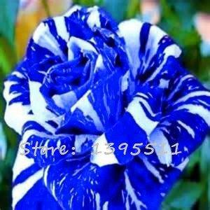 Amazon Com 1bag 100pcs Rare Rose Seeds Rare Color Rose Gorgeous