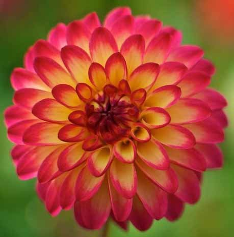 (3) Beautiful Flowering Blooms Dahlia Mardi Gras Mix Bulb/rhizome/root/plant Perennial