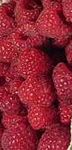 Himbeere Rubus idaeus /'Glen Ample/'