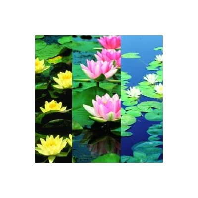 3 Hardy Waterlilies (Pink, Yellow, and White) Complete Planting Kit Includes 3 Waterlilies, Containers, Planting Media, and Fertilizer : Garden & Outdoor