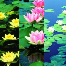 Collection of Five Hardy Waterlilies: Colorado, Rembrandt, Pink Beauty, Joey Tomocik, and Virginalis -
