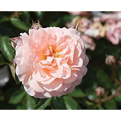 1 Gallon Plant Apricot Drift Rose Shrub Plants Roses Groundcover Outdoor Gardening tktreas : Garden & Outdoor
