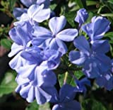 Classy Groundcovers, Dwarf Plumbago, Hardy Blue Plumbago Chinese Leadwort (25 Pots, 3 1/2 inches Square)