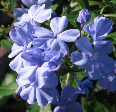 Classy Groundcovers - Dwarf Plumbago, Hardy Blue Plumbago Chinese Leadwort {25 Pots - 3 1/2 in.} by Classy Groundcovers (Image #9)