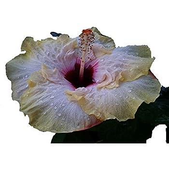 Amazoncom Stolen Kiss Tropical Exotic Cajun Hibiscus Live Plant