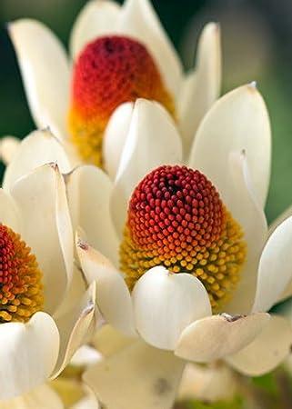 Tropica - 5 Samen K/önigsprotea Proteen und Banksien Protea cynaroides