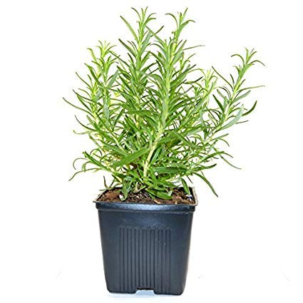 Live Rosemary Mosquito Repellent Plant In Pot Amazon In Garden