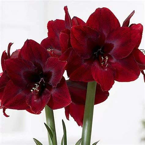 3 Black Amaryllis Bulbs Summer Flowering Hippeastrums Home Garden Decoration