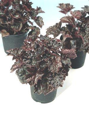 Heuchera (Coral Bells) macrantha Palace Purple PL 1,000 Seeds ()