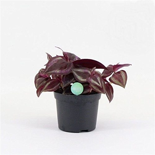 Tradescantia fluminensis 'Red Jewel' Trailing House Plant in 8.5cm Pot Perfect Plants