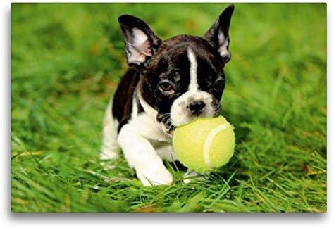 Calvendo - Cachorro de Bulldog francés pequeño para Jugar, 75x50 cm
