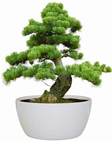 Bonsai Indoor Grow Set Jerusalem Pine Tree Amazon Co Uk Garden Outdoors