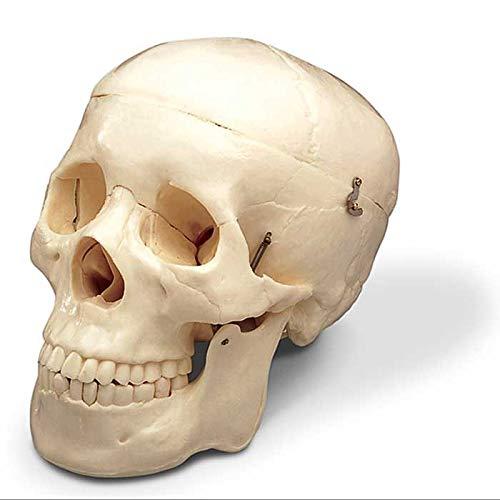 Halloween Budget Life-Size Human Skull - Fourth Quality (Item # -
