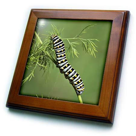 3dRose Danita Delimont - Caterpillars - Black Swallowtail Caterpillar Eating Fennel, Hill Country, Texas, USA - 8x8 Framed Tile (ft_315055_1)