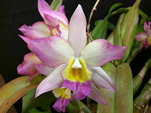 Fragrant! ~ Cattleya Orchid ~ Iwanagara Appleblossom 'Carmela'