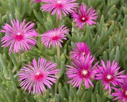 - Delosperma (Ice Plant) cooperi 1,000 seeds