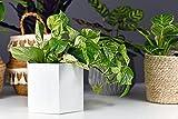 AMERICAN PLANT EXCHANGE Marble Queen Pothos Easy