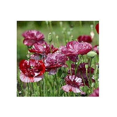 Seed House-KOUYE 100 Pieces Poppy Turkish Rare Garden Poppy Flower Seeds Hardy Perennial Poppy Seeds bee-Friendly for Garden : Garden & Outdoor