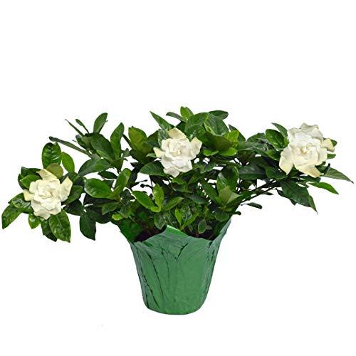 The Three Company Live Flowering 6