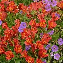 1 Bulb of Alstroemeria Inca Joli - Peruvian Lily or St. Martin's Flower
