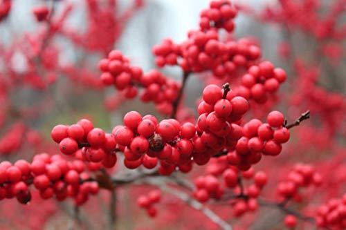 - Crimson Red Winterberry Holly Berry Bush Wintering Bird Beautiful in Winter Snow