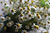 David's Garden Seeds Herb Chamomile Common SL4422 (White) 500 Non-GMO, Heirloom Seeds