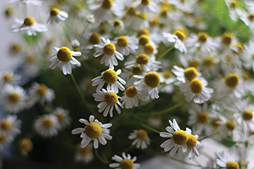 David's Garden Seeds Herb Chamomile Common 4422 (White) 500 Non-GMO, Organic Seeds (Chamomile Seed Roman)