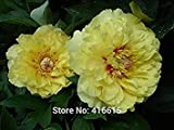 Herbaceous Peony Seeds Paeonia Bartzella Seeds Yellow Color Peony Flower Seeds Bonsai Perennial Garden Plant Seeds