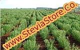 Stevia Morita Seeds | 10 grams (40,000 seeds) | Stevia-Store | Fresh