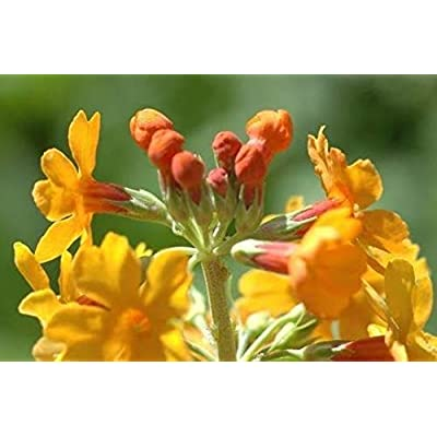 True Source Seeds - Orange & Red Mix Primula Candelabra Layered Bulleyana Hardy Perennial Primrose 30 Seeds : Garden & Outdoor