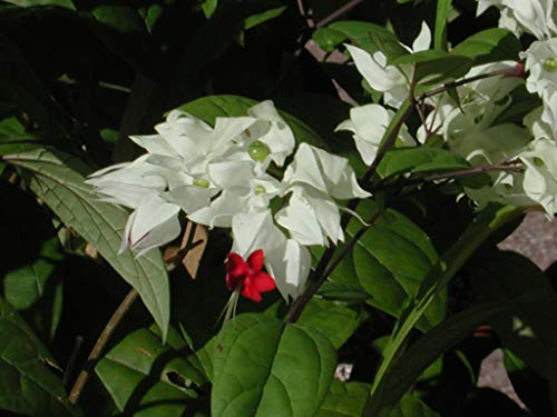 Two 4 inch Clerodendrum 'Bleeding Heart' White Flowers. 4 Plants, 2 per Pot.
