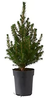 livereal potted christmas tree white spruce 1 tree 15cm pot - Small Live Christmas Trees